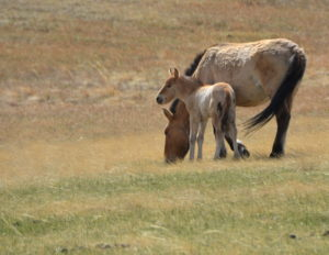 2016 May Hustai NP Mongolia CPague